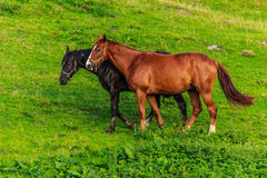 Horses in the field. Two horses in a green field Royalty Free Stock Photos