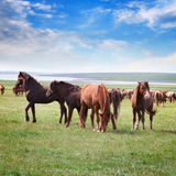 Horses in a field under a blue sky with clouds Stock Photos