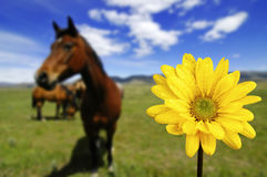 Horses in Field with Yellow Spring Flower Royalty Free Stock Image