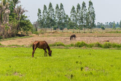 Horses in the fields in countryside farm Stock Photo