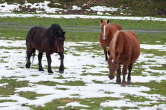Horses in the fields covered by the snow Royalty Free Stock Photography