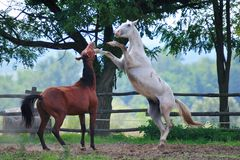 Horses in fight Royalty Free Stock Photo
