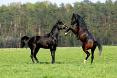 Horses fighting. Arabian farm power stock photos