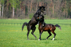 Horses fighting Stock Photos