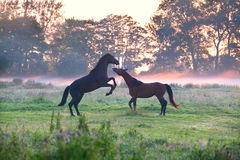Horses fighting on misty pasture. At sunrise Royalty Free Stock Images
