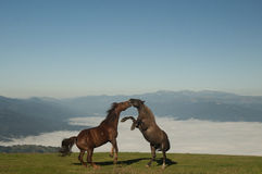 Horses fighting Royalty Free Stock Image