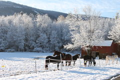 Horses in the first snow of the Winter Stock Photo