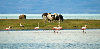 Horses and Flamingo Stock Photography