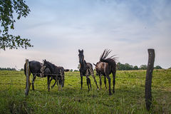 Horses and flies Royalty Free Stock Image