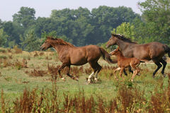 Horses In Flight. Three horses at full speed. All are mid stride and seem to float in the air royalty free stock photo