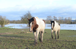 Horses in flooded Gloucestershire. A pair of horses on a flooded field in Gloucestershire, UK Stock Photos