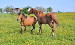 Horses in flowery meadow Stock Photos