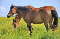Horses in a flowery meadows Royalty Free Stock Photos