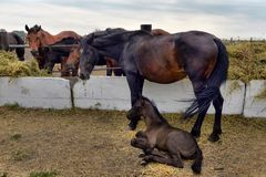 Horses and foal eating hay stock images