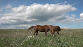 Horses with a foal graze in the field, daytime beautiful landscape, slow motion.  stock footage