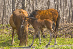 Horses with a foal it is grazed in the spring Royalty Free Stock Images