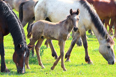 Horses and foal grazing on pasture Royalty Free Stock Images