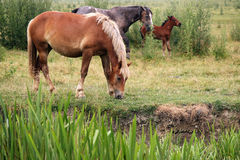 Horses and foal Royalty Free Stock Photos