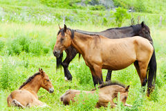 Horses with foals Stock Photo