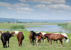 Horses and foals Royalty Free Stock Photography