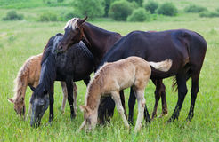 Horses and foals Stock Photo