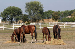 Horses and foals eat hay Royalty Free Stock Photos