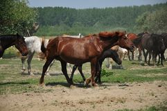 Horses and foals on field Stock Photography