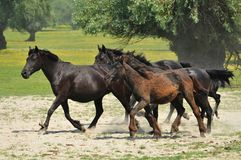 Horses and foals on field Stock Images