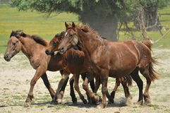 Horses and foals on field. Horses and foals on the field Stock Images