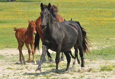 Horses and foals on field Royalty Free Stock Photo
