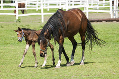 Horses and foals on field Royalty Free Stock Image
