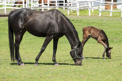 Horses and foals on field Stock Image