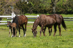 Horses and foals on field Royalty Free Stock Photos