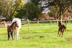 Horses Foals Stock Photo
