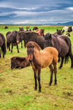 Horses with foals in the Iceland mountains Royalty Free Stock Photography