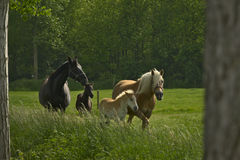 Horses and foals in a meadow Stock Photos
