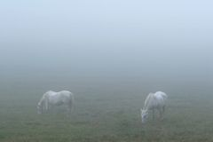 Horses in Fog. Two horses grazing in a foggy field - morning in Cades Cove, Smoky Mountains Nat. Park, USA Royalty Free Stock Images