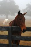Horses and Fog Stock Image