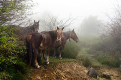 Horses in the fog Stock Images