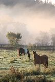 Horses during fog morning Stock Photos