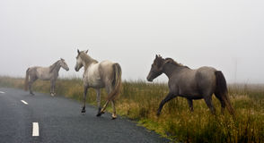 Horses in Fog Stock Photo