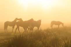 Horses in the fog. Horses in the yellow fog during a summer sunrise in the countryside stock photography