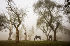 Horses in a foggy orchard. Two horses grazing in a foggy orchard of apple trees royalty free stock photos
