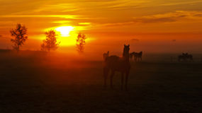 Horses in foggy paddock at sunrise. Six horses in a misted paddock while the sun is rising in a red-yellow haze lightening the trees from the back Stock Photo