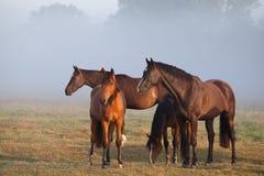 Horses on foggy pasture Royalty Free Stock Photography