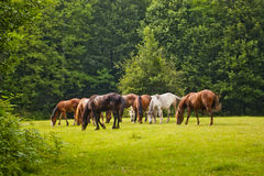 Horses in forest clearing Royalty Free Stock Images