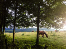 Horses in the forest. Horses in the field that eat and rest Royalty Free Stock Image
