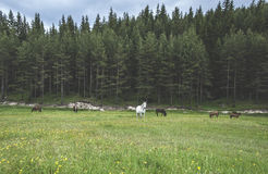 Horses in forest. On green meadow Stock Photography