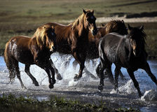 Horses. The four horses running on river in the fall Stock Photo