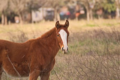 Horses free on a field in Argentina Royalty Free Stock Photo
